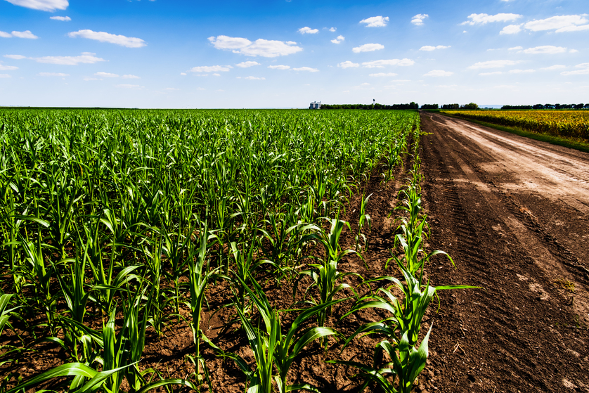 What Is The Spacing For Planting Corn