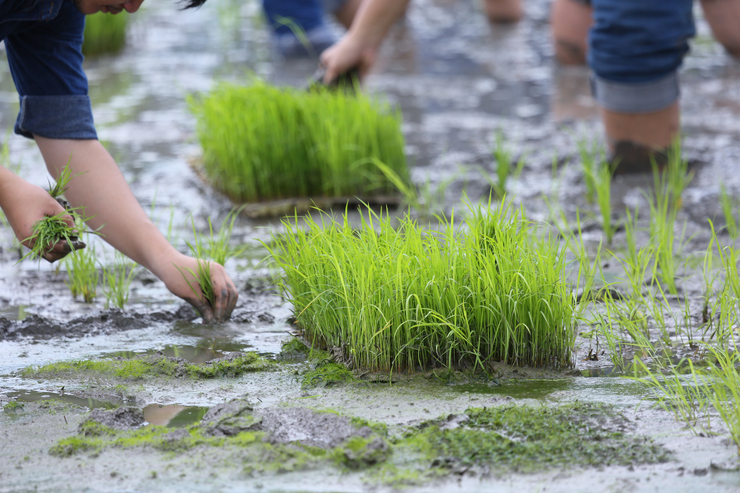friendship,young farmer planting on the rice berry organic paddy